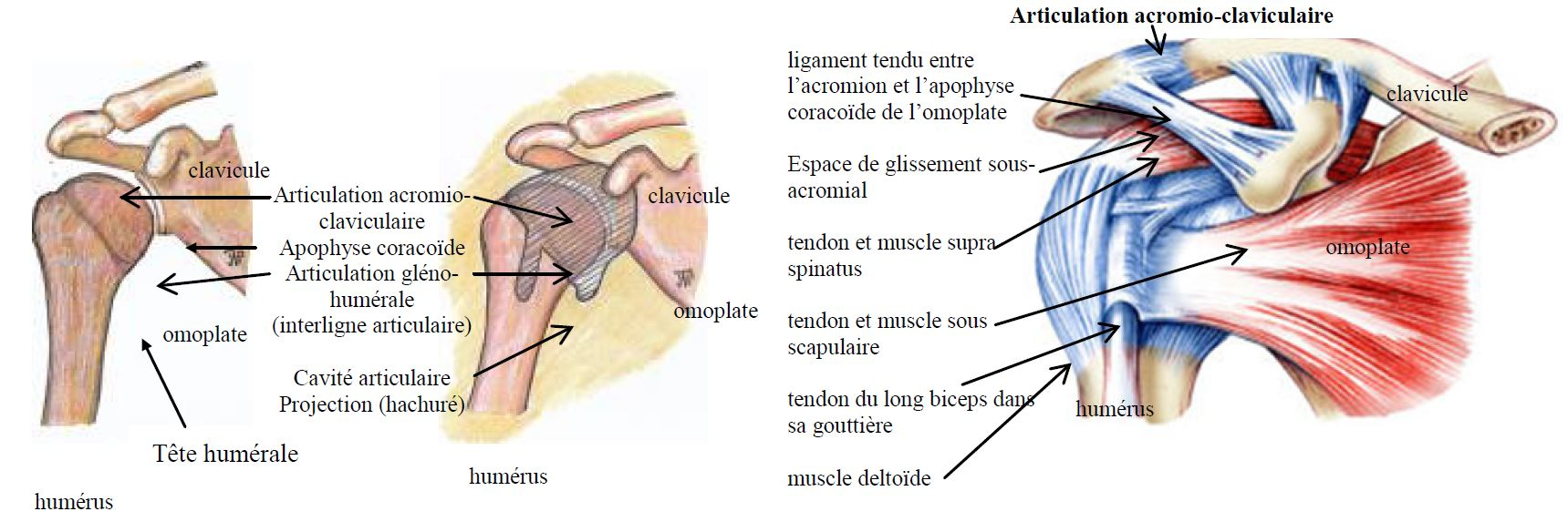 articulation acromioclaviculaire